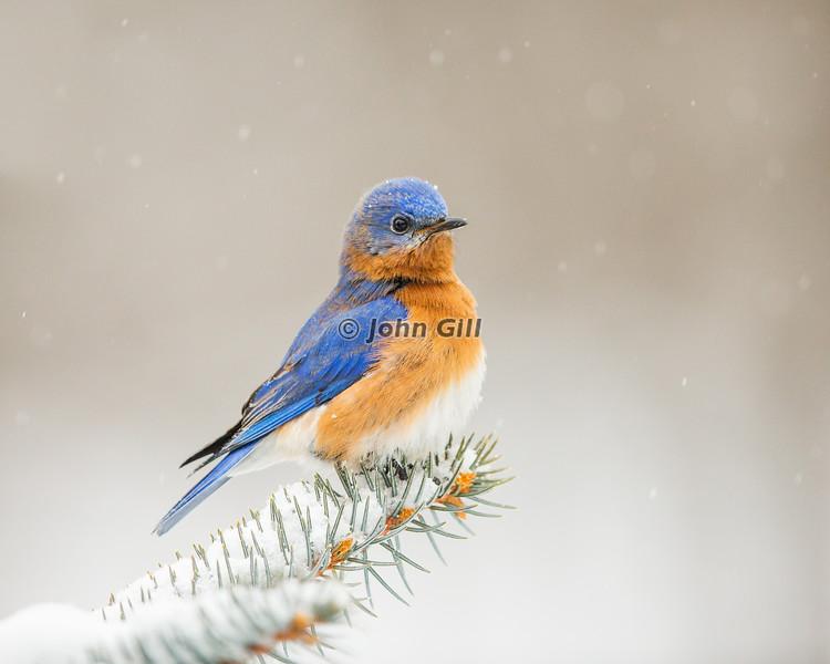 Eastern Bluebird 0120