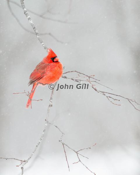 Cardinal 0332