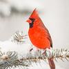 Cardinal 0476