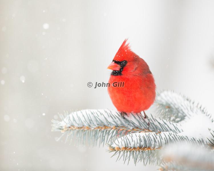 Cardinal 1455
