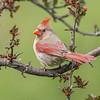 Cardinal 6751