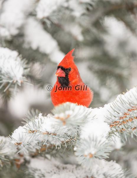 Cardinal 6589