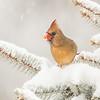 Cardinal 6172