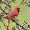 Cardinal 6610
