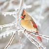 Cardinal 2277