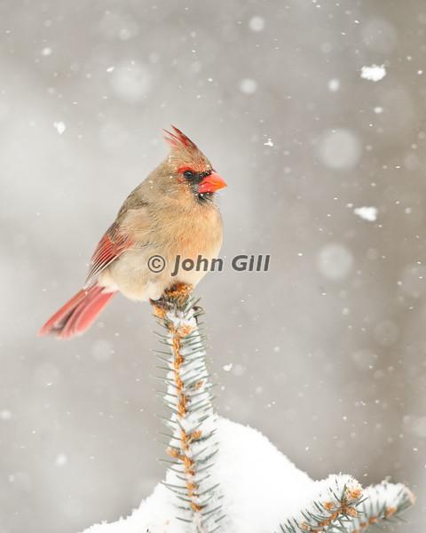 Cardinal 8766