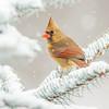 Cardinal 5181