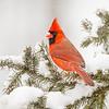 Cardinal 8736 (vertical)