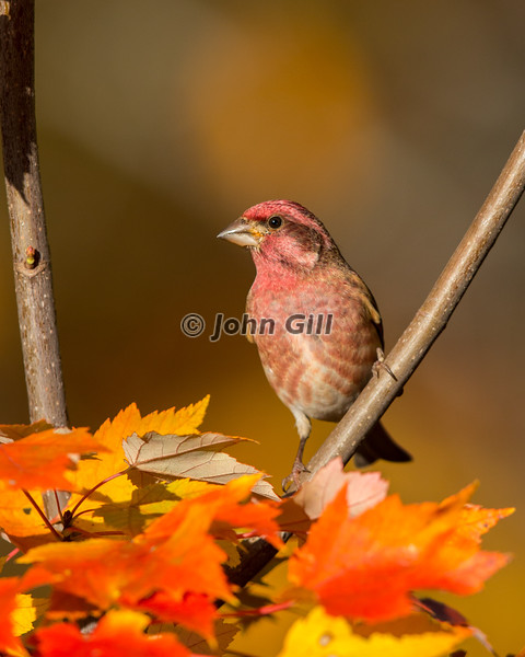 Purple Finch #3426 (male)