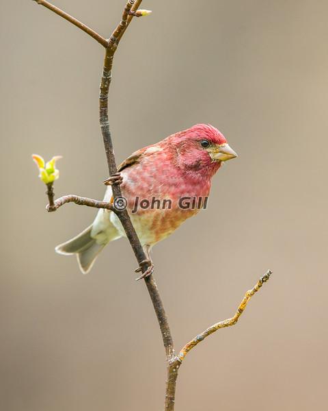 Purple Finch #5013 (male)