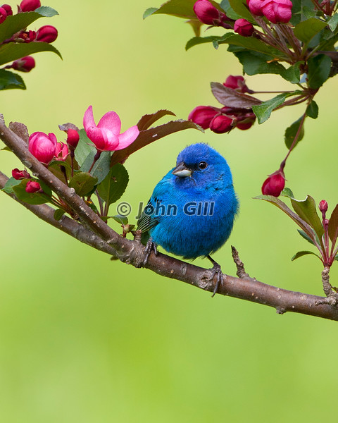 Indigo Bunting (male) in Flowering Crabapple