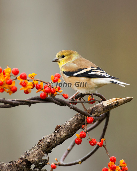 American Goldfinch # 9276