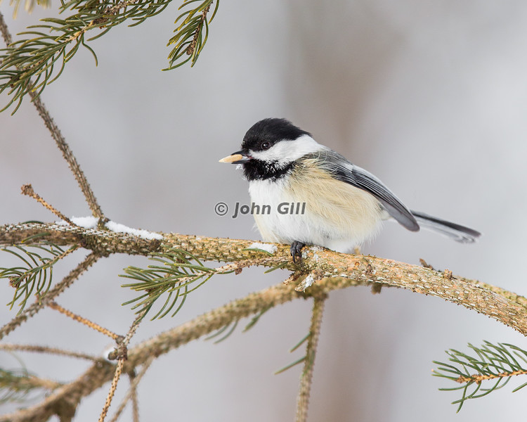 Black Capped Chickadee 9988