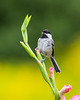 Chickadee Morning Song