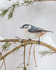 White Breasted Nuthatch 9344