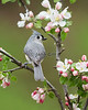 Tufted Titmouse # 2518