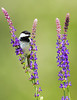 Black Capped Chickadee 6562