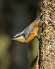 Red Breasted Nuthatch 3227