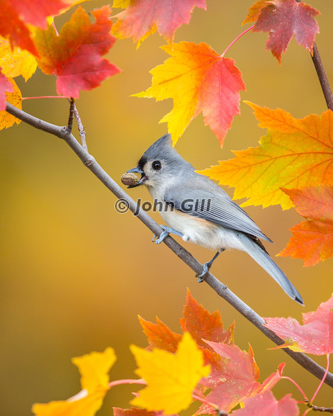 Tufted Titmouse in Autumn Maple