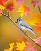 Tufted Titmouse in Autumn Maple