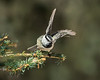 Mountain Chickadee Takeoff