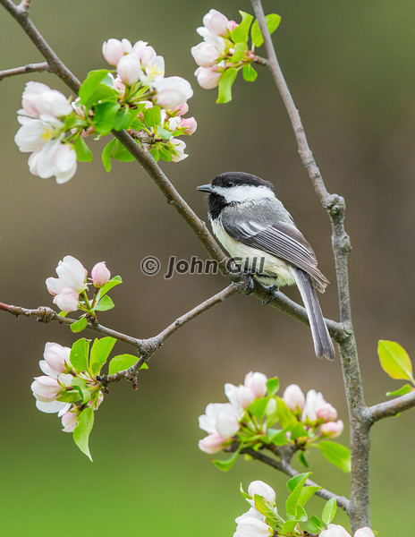 Black Capped Chickadee 2112