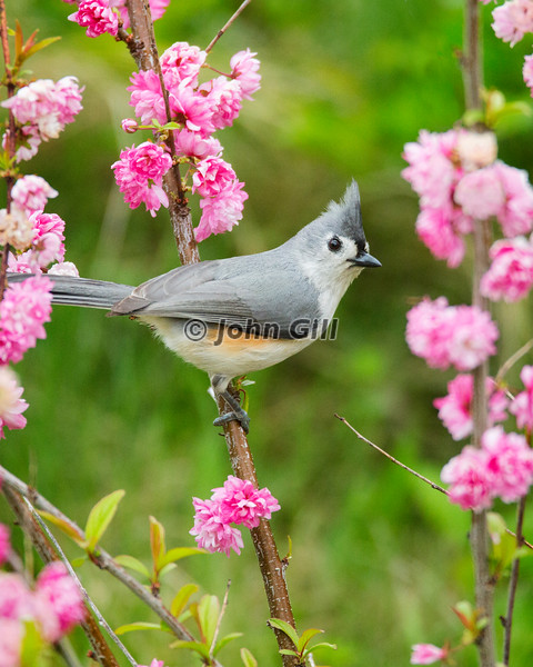 Tufted Titmouse on Flowering Almond Bush