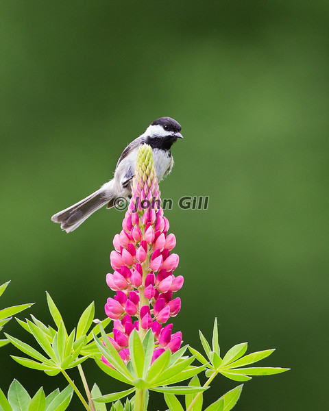 Lupine Landing (Black Capped Chickadee)