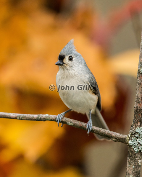 Tufted Titmouse 3911