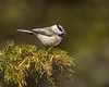 Mountain Chickadee 7943
