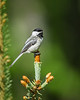 Black Capped Chickadee in Spruce