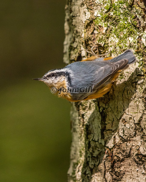 Red Breasted Nuthatch 3192