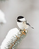Black Capped Chickadee 2804