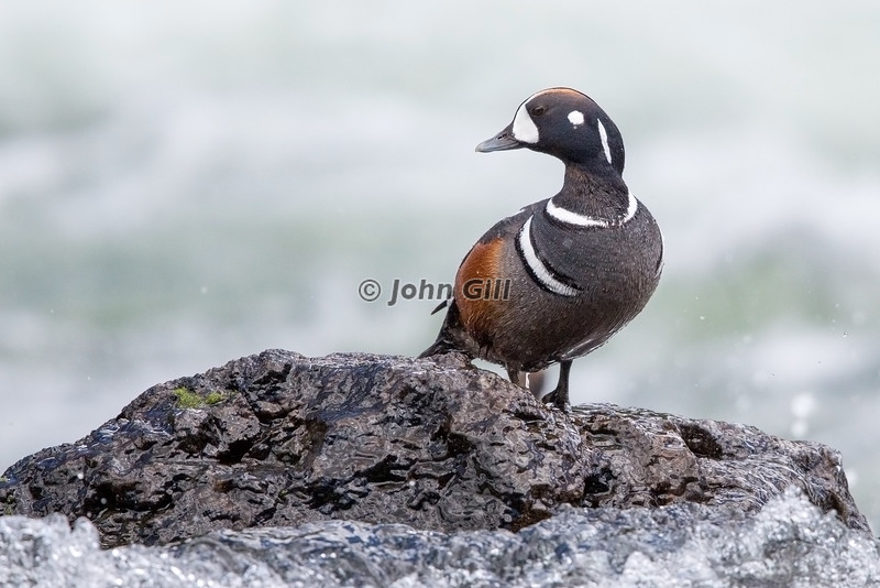 Harlequin Duck (male) On The Rocks