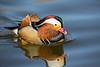 Mandarin Duck 0681