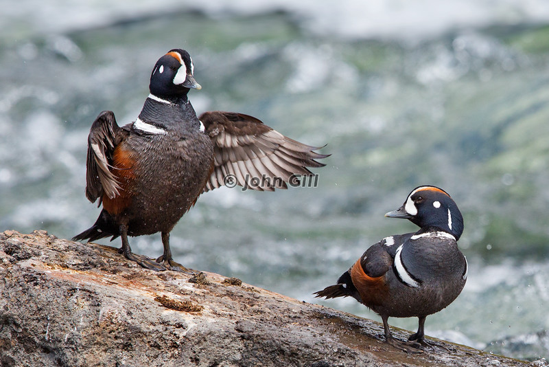 Harlequin Duck Showoff
