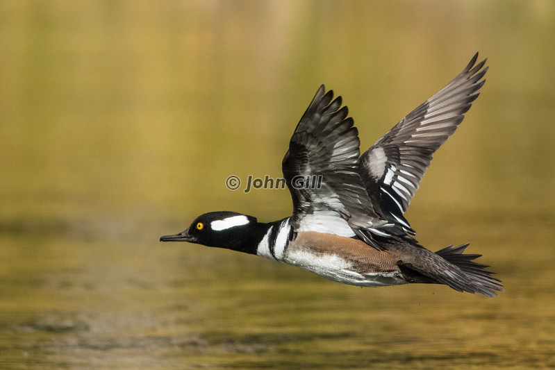 Hooded Merganser Flight Line