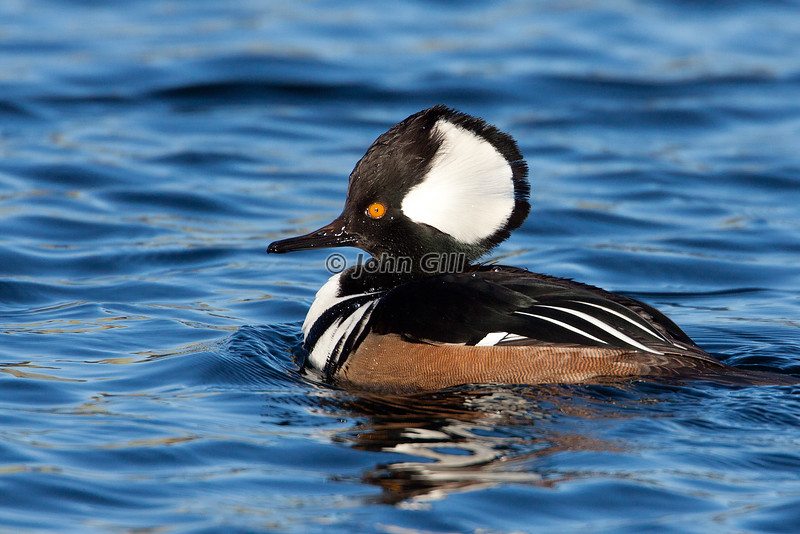 Hooded Merganser # 9896