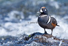 Harlequin Duck (male) in Yellowstone River