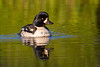 Barrow's Goldeneye (male)