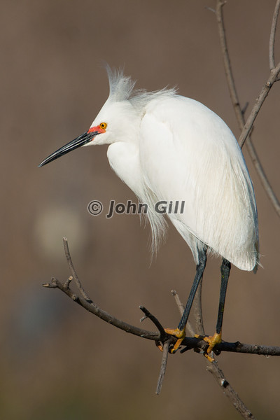 Snowy Egret - The Watchman
