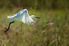 Snowy Egret Nestbuilding Flight