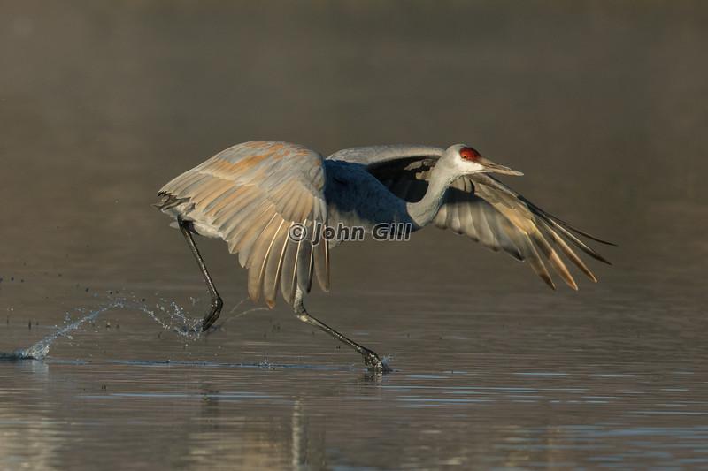 Into The Wind (Sandhill Crane)