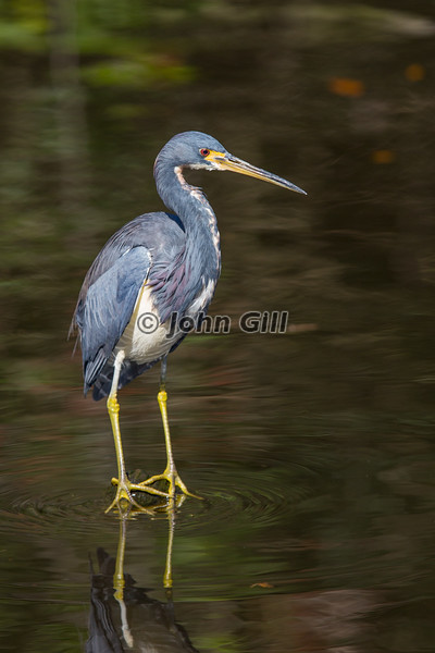 Tricolored Heron Keeping Watch