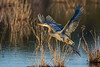 Great Blue Heron - Into the Wind