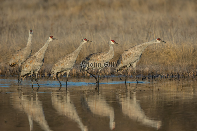 Cleared For Takeoff (Sandhill Cranes)