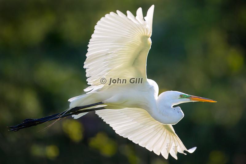 Great Egret Flight Lines