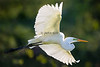 Great Egret Flight Lines