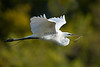 Great Egret Headed Home