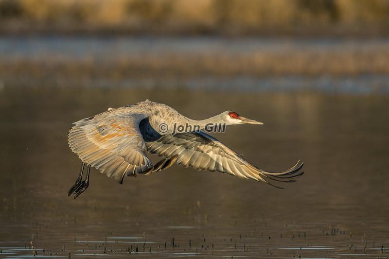 Dawn Departure (Sandhill Crane)